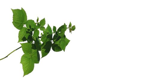 Green shrub swaying in the wind on isolated background