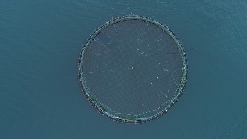 AERIAL, TOP DOWN: Flying above a large pool full of salmon on fish farm in scenic Faroe Islands. Cinematic shot of circular cage containing countless fish jumping out of the sea and splashing water. | Shutterstock HD Video #1015400695