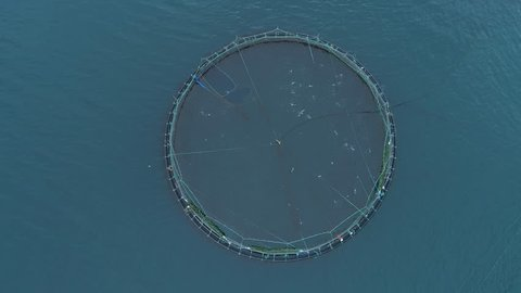 AERIAL, TOP DOWN: Flying above a large pool full of salmon on fish farm in scenic Faroe Islands. Cinematic shot of circular cage containing countless fish jumping out of the sea and splashing water.