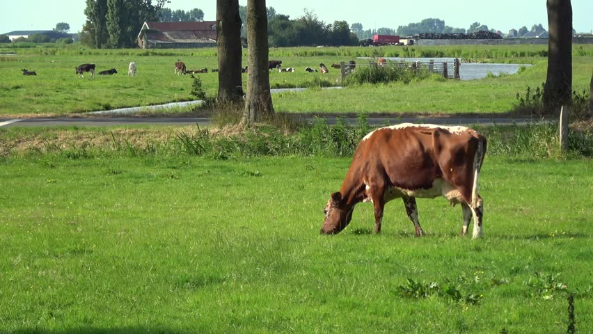 4K. A brown and white cow are grazing in a green meadow in Edam, Netherlands. In the background there are more cows grazing. Dutch landscape-Adrian