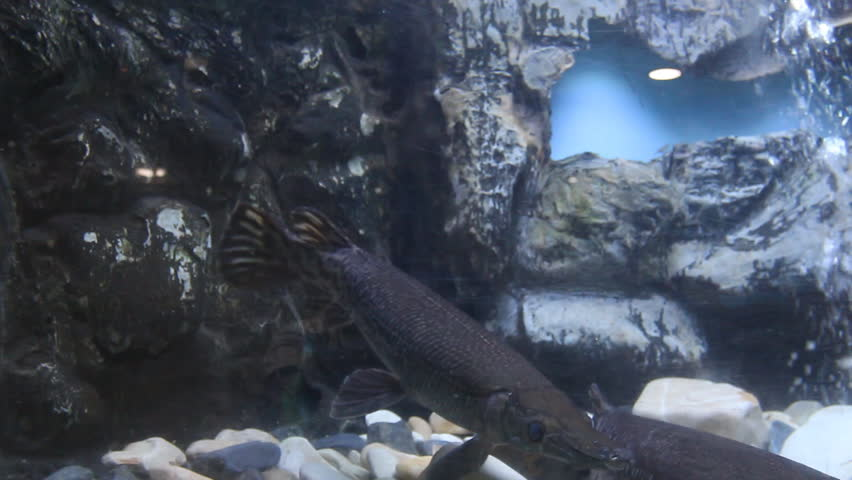 Header of alligator gar