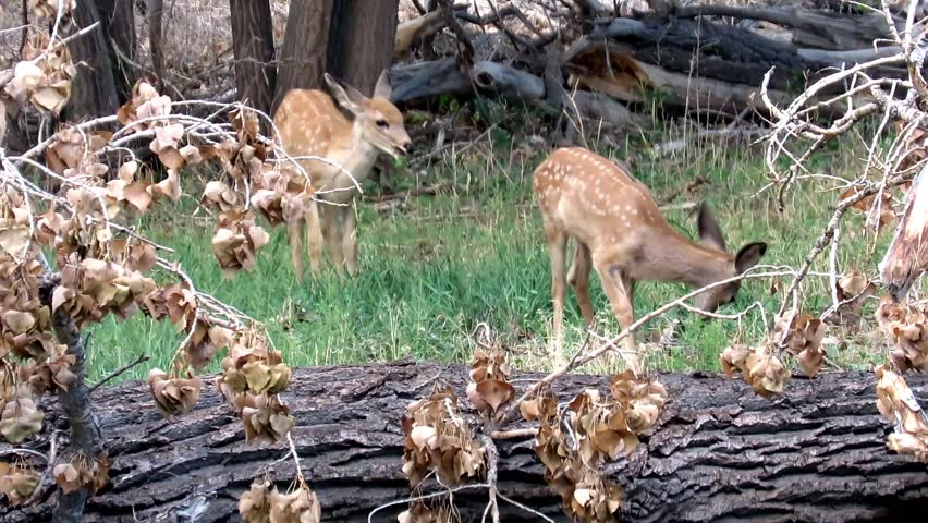 Two Mule Deer fawn graze among downed trees in Lake Pueblo State Park in Southern Colorado. | Shutterstock HD Video #1015418785