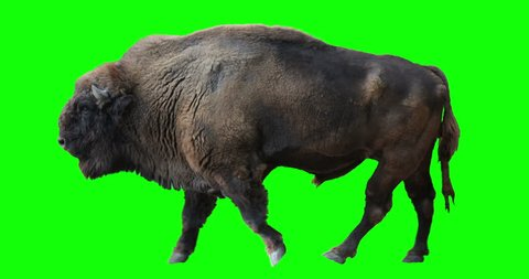 Isolated Wisent (European Wood Bison) cyclical walking. Can be used in real coloring, and as a silhouette. Green Screen.
