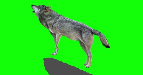 Gray wolf howling. An isolated wolf rises to a rock and howls. Green Screen. Version panoramic camera.