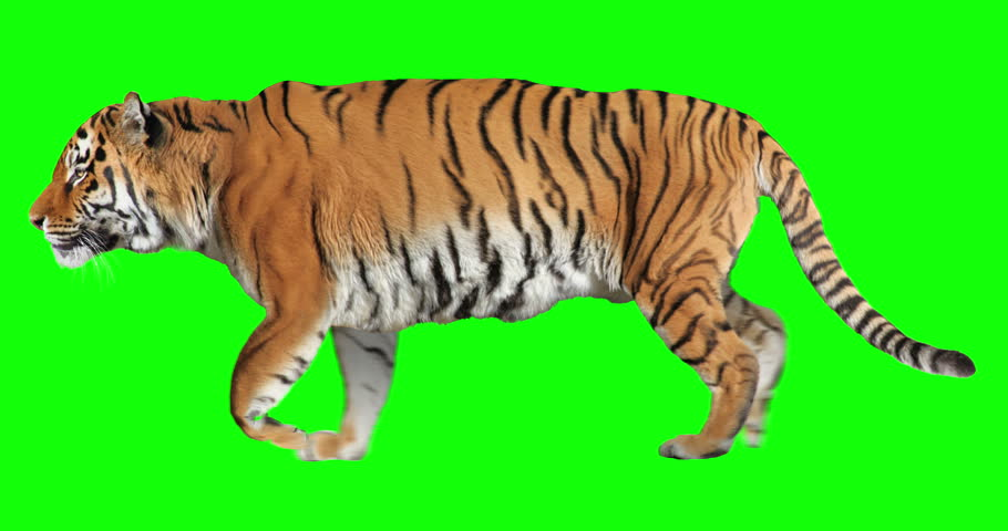 Tiger running trot. Animal isolated for your background. Green Screen