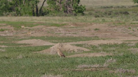 Burrowing owl on ground near nest burrow takes flight on hot afternoon