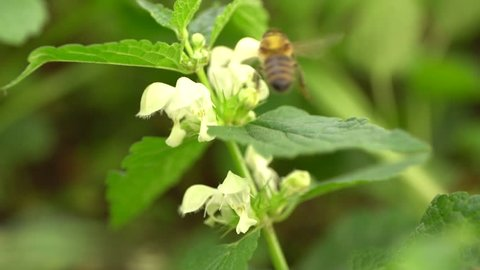 Close-up of a slow motion bee of a bee Apis mellifera collecting pollen and nectar on a white fluffy nettle inflorescence Lamium album on a clearing in the summer in the Caucasus Mountains