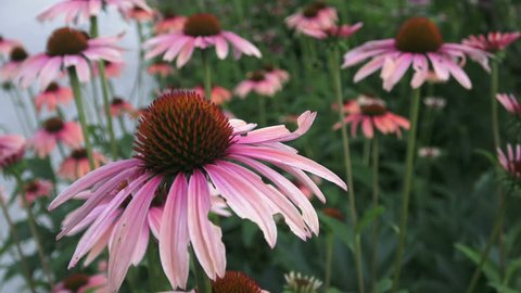 Light lavender pink, daisy-like coneflowers or Echinacea with slightly drooping petals and spiky green cone brightened with orange tips