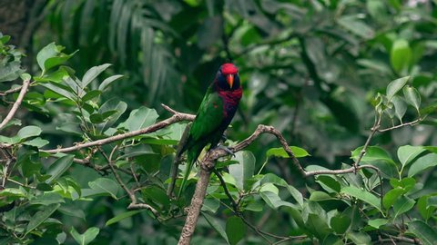 Black-capped lory sits on tree branch against green foliage of tropical plants on background, watches around and twitters. Beautiful bright colored exotic parrot in wild nature. Video with sound.