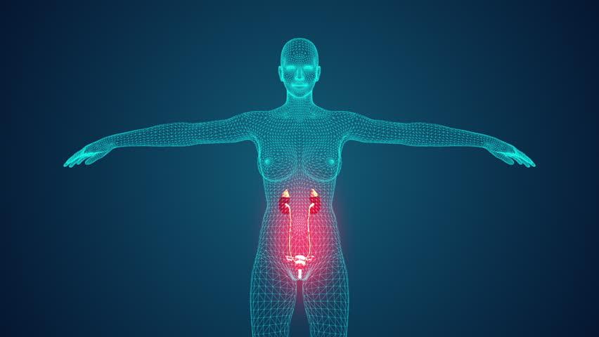Female urinary system.