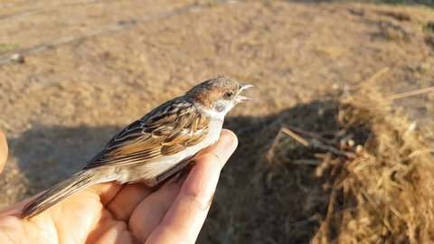 Little young sparrow on the woman hand, close up. Sunset light on summer field.