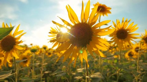 Sunset over the field of sunflowers against a cloudy sky. harvesting agriculture sunflowers field concept nature. Beautiful summer landscape agriculture. slow motion video. field lifestyle of blooming
