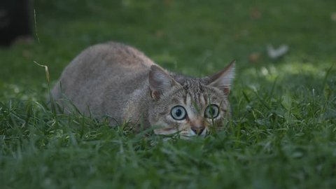 Cat moving stealthily on green grass to attack
