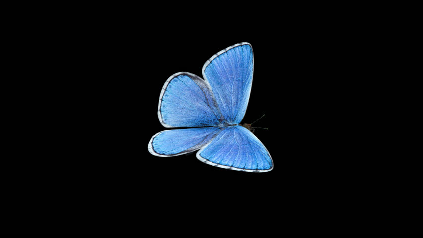 Butterfly - Blue Adonis - Flying Loop - Alpha Channel - 3D animation of realistic model ready to fly by your custom moving path.