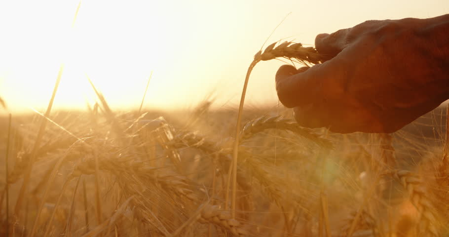Hands of farmer touching wheat ear at sunset, expecting good harvest. agriculture concept closeup 4k | Shutterstock HD Video #1015879795