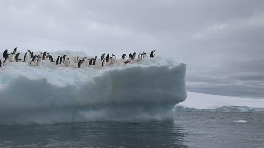 Adelie Penguins sitting on an Antarctic Iceberg in Hope Bay
