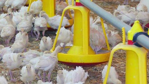 Flock of young turkeys on farm
