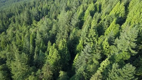 BC Canada forest with huge green trees from above in 4k drone shot