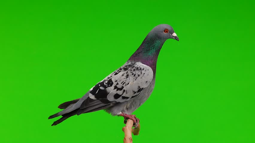 sitting gray shtihel dove isolated on green background #1016065495