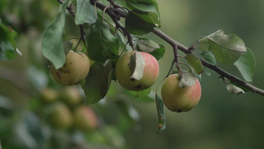 Apples hanging from an apple tree branch