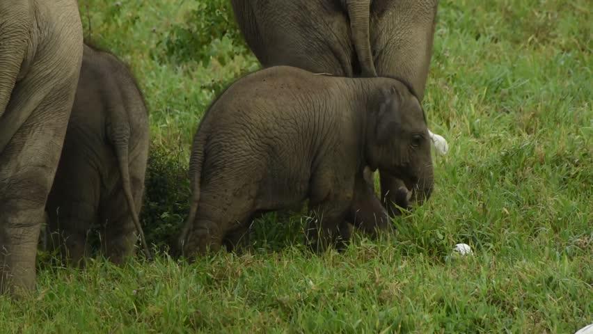 Elephant calf boost a trunk | Shutterstock HD Video #1016130595