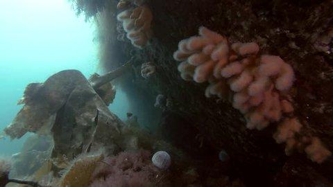 Underwater landscape with soft corals. Fingers Coral, Dead Man's Fingers or Light Bulb Tunicate (Alcyonium digitatum)