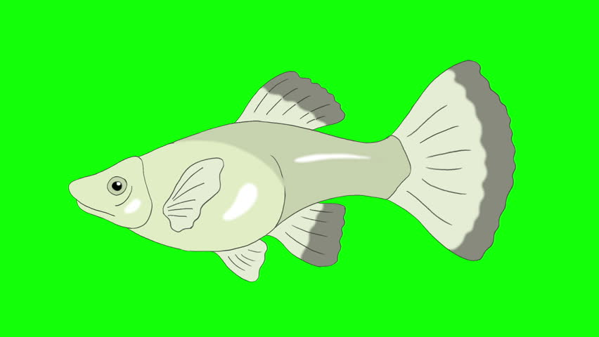 Big Silver Guppy Aquarium Fish floats in an aquarium. Animated Looped Motion Graphic Isolated on Green Screen