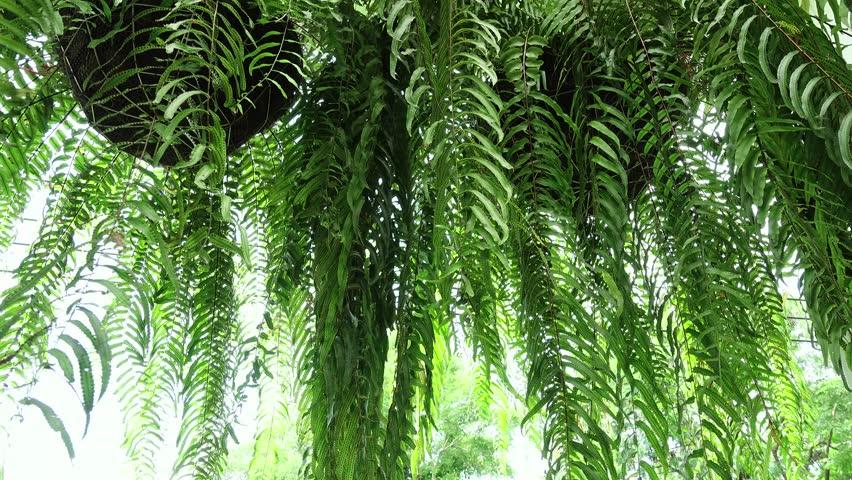Pteridophyta , Filicophyta fernmoving in the wind.