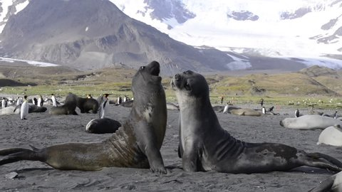 Elephant Seal fight