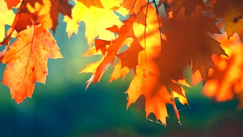 Autumn Leaves background, swinging bright red, orange, yellow oak leaves on tree in autumn park. Fall. Colorful park. Sun flare.  Slow Motion Ultra high definition 3840X2160 video