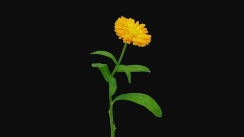 Time-lapse of opening orange calendula flower 2a3 in RGB + ALPHA matte format isolated on black background
