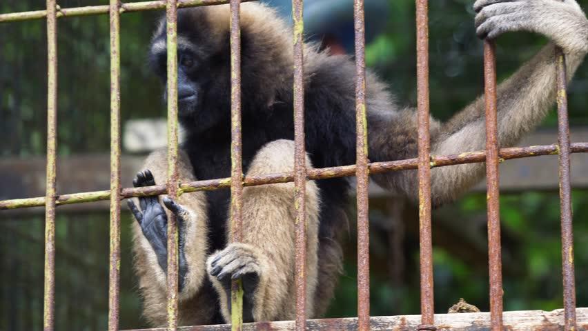 Bornean Gibbons Endanged Species Captivity Zoo Rehabilitation Center Sarawak Borneo Malaysia