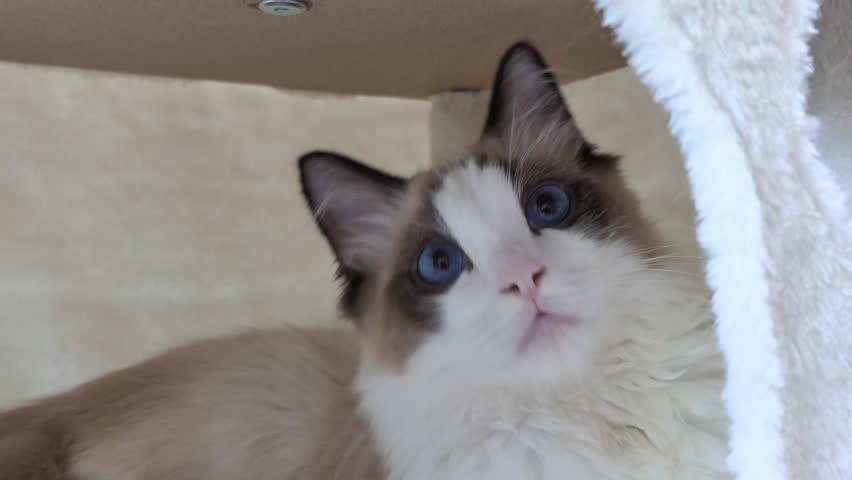 A curious Ragdoll kitten sitting inside a cat tree.