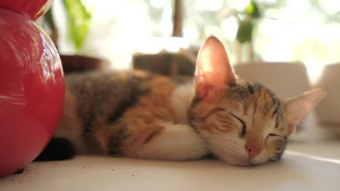 three-colored cat kitten sleeps on the window in the morning sunlight. the cat sleeps on the windows at the morning the sun beats shining. cat on the window lifestyle concept