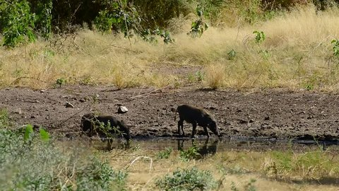 Two warthogs sensing danger stop drinking water and run off into the thicket