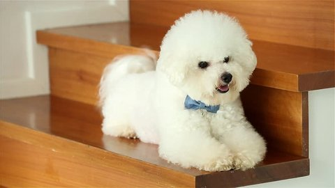 Bichon Frise dog lying on the stairs