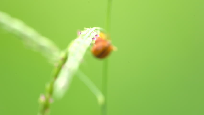 ladybugs or ladybeetles breeding on grass, ladybug is beautiful small insects, blurred green nature background. Coccinellidae is a widespread family of small beetles