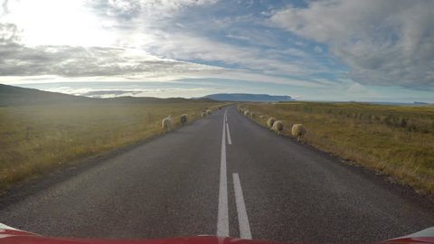 Sheep on the road blocking traffic during the Rettir roundup, Iceland.mov