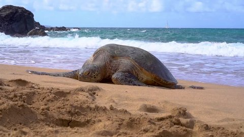 A sea turtle rests motionless on a white sand beach in Hawaii during the mid-day sun while waves crash behind near a rocky coastline.