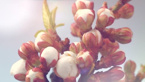 Beautiful Spring Apricot tree flowers blossom timelapse, extreme close up. Time lapse of Easter fresh pink blossoming apricot closeup, backdrop.