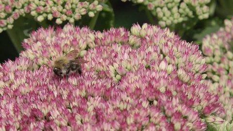 bumblebee on stonecrop in the garden