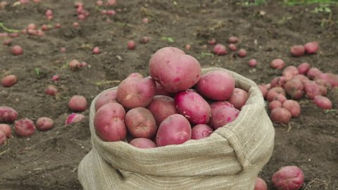 farmer touch and put fresh  potato in old sack
