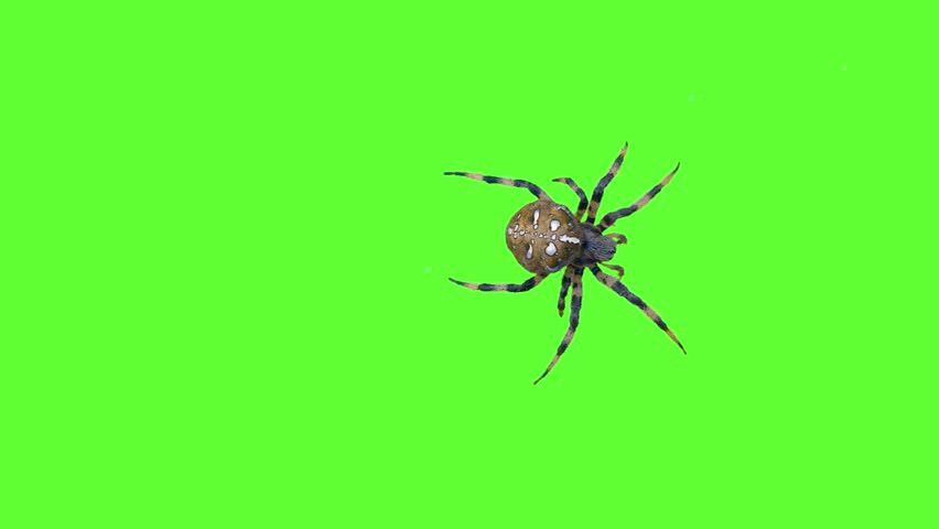 dark scary spider crawling on green screen background