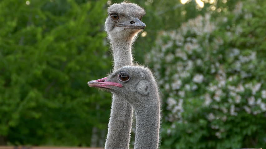 Two ostriches against a background of green foliage of trees.