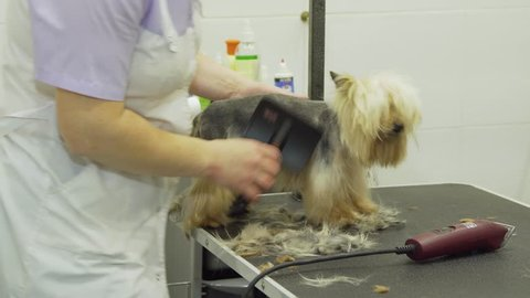 Pet grooming salon. Grooming a little dog in pet grooming, hairdressing salon for dogs. Groomer using brush on dog.