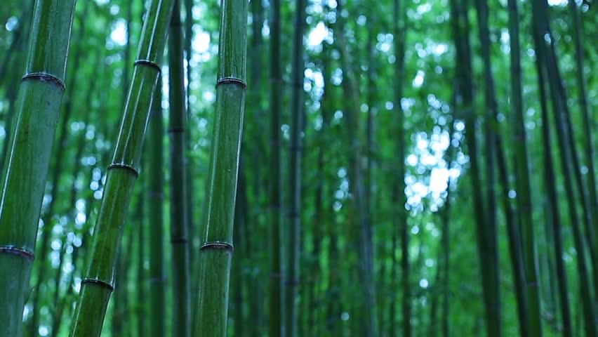 Rainy morning in bamboo grove. Arashiyama, Japan. | Shutterstock HD Video #1016917465