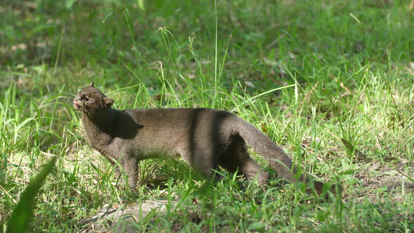 Jaguarundi (Herpailurus yagouaroundi) eating grass in French Guiana zoo.
