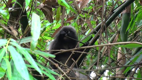 Dusky Langur sit in bamboo forest eating close up