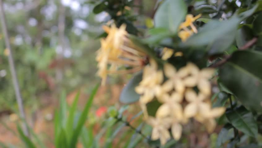 blurring of yellow asoka flower