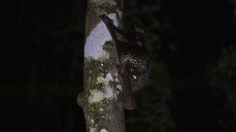 Sunda Flying Lemur (Galeopterus variegatus) Nocturnal Clinging to Tree in Jungle Rainforest Canopy at Night